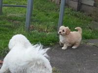 Darling 8 week old Cavachon Puppies. These pups have