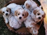 Stunning Cavachon pups available. 2 girls and 1 boy not
