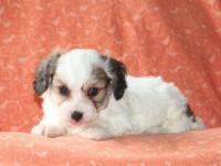 Wouldn't you love to meet Scott, a cuddly Cavachon