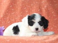 Wouldn't you love to meet Kelly, a cuddly Cavachon