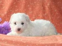 Wouldn't you love to meet Scout, a cuddly Cavachon
