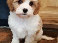 Cavachon puppies! Very gentle, good natured breed that