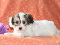 Wouldn't you love to meet Sasha, a cuddly Cavachon