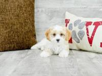 Chaplin is a Charming male Cavachon. He knows how to