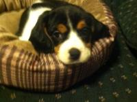 Cutest ever great family pet. Father is a cavalier and