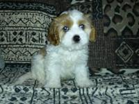 Three sweet cavachons. 2 males and 1 female. 3/4
