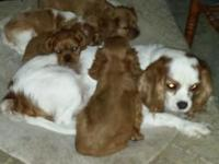 Cavalier King Charles Spaniel, AKC First Litter ready