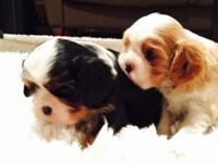 Cavalier King Charles Spaniel. 5 young puppies born -