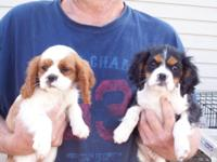 Pups; ACA reg.,two litters,$500-$700,vet checked,