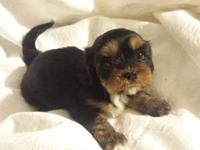 cava-Tzu puppies. they are a hybred puppy of cavalier