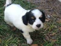 Sweet, playful, cavalier King Charles mix pups. Mother