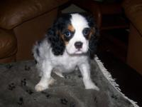 All females left! AKC Cavalier Master Charles 10 weeks