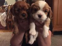 Two Cavalier King Charles Puppies for sale. The Parents