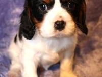 Beautiful Tri - Colored Cavalier King Chalres Spainels