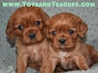 ON SALE NOW (700.00)-- Tiny Cecilia- Cavalier King