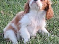 I have an adorable male Cavalier Puppy available. He is