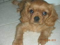 Pure Ruby (no white!) 6 month old male Cavalier King
