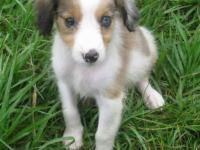 Beautiful Cavalier king Charles mix sheltie puppies, we