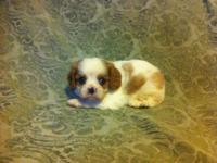 These Cavalier King Charles Spaniel babies are totally