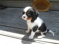 AKC Cavalier King Charles Spaniel puppies. Ready for