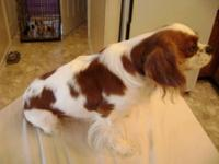 This is a great little female cavalier she has never