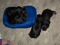 Beautiful rich black and tan Cavalier These 4 little