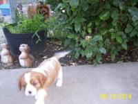 Very adorable Cavalier male puppy. He has been home