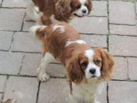 Cavalier King Charles Spaniel - Cessper - Small - Adult