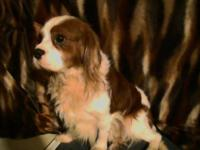 Romeo is a Cavalier King Charles Spaniel that is