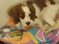 Registerable Cavalier King Charles Spaniel for Sale.