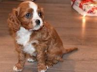 Ready for you today,Meet Rootie our last Cavalier Kind