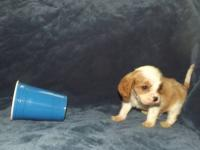 Cavalier King Charles Spaniel Male Puppies. 3 Tri-Color