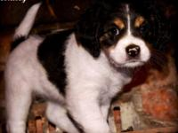 Beautiful Cavalier King Charles Spaniel/Poodle mix