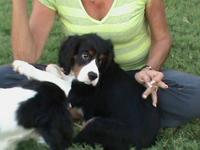 Moose, is one of our male Cavalier King Charles Spaniel