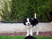 Ziggy, is one of our male Cavalier King Charles Spaniel