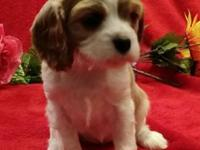 Cavalier King Charles Spaniel puppies. Born 6/21/15.