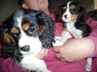 Cavalier King Charles Spaniel puppies, 2 males, first