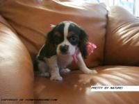 CAVALIER KING CHARLES PUPPIES! GREAT FOR THE HOLIDAYS!