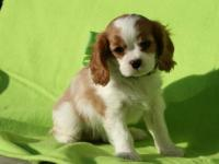 CAVALIER KING CHARLES SPANIEL PUPPIES 10 WEEKS OLD,