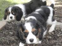 08/01/2013 Cavalier King Charles Spaniel Puppies.