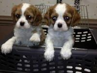 5 Cavalier King Charles pups. 1 black/tan with a blaze