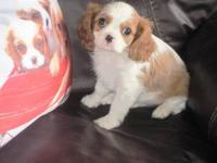 8 week old cavalier puppies. 2 blenheim males