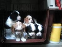 Cavalier King Charles Spaniel puppies (3 males and 2