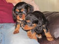 We have CKC Reg. Cavalier King Charles Spaniel Puppies