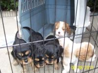Adorable Cavalier King Charles Spaniel Puppies. They