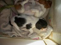 cavaliers, beautiful, two litters, one litter is