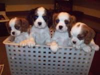 AKC Registered Cavalier King Charles Spaniel Puppies