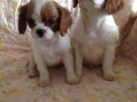 Cavalier King Charles Spaniel Puppies, 9 weeks, First