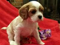 Adorable Cavalier King Charles Spaniel puppies. Born