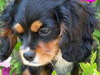 This little boy is a CKC registered purebred Cavalier
